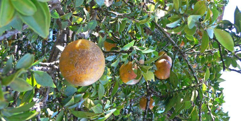 Il frutto amaro del Chinotto